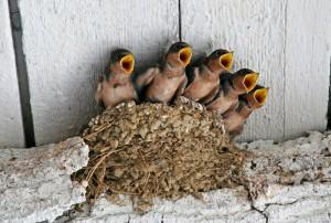 19-swallows
