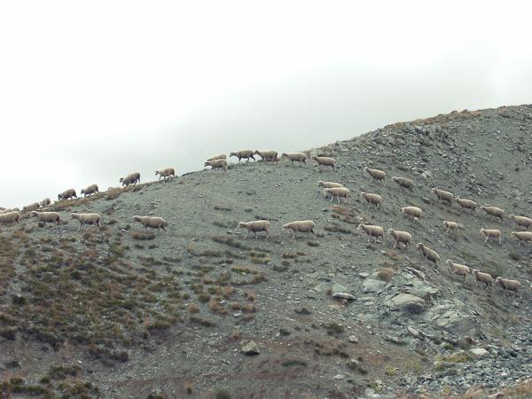 2014_05_Life-of-Pix-free-stock-photo-nature-sheep