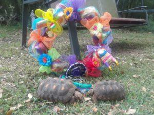 two tortoises outside