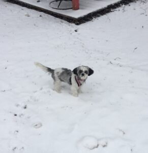 Mika, the Shih tzu, in the snow